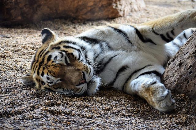 tiger 2273746 640
